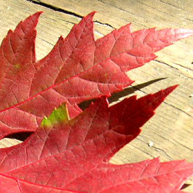 redleaf